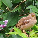 Female  House Sparrow by Ron Russell