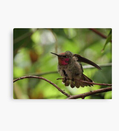 Anna's Hummingbird (Juvenile)~ Morning Stretch Canvas Print