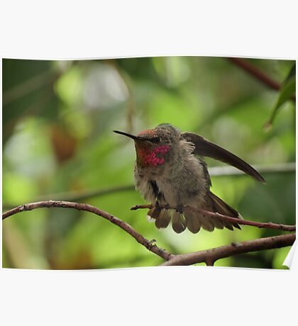 Anna's Hummingbird (Juvenile)~ Morning Stretch Poster