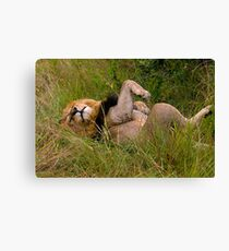 Very relaxed lion Canvas Print