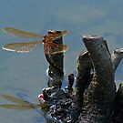 Brown Hawker Dragonfly by mikebov
