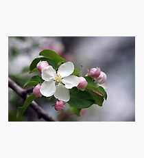 Apple Blossoms Photographic Print