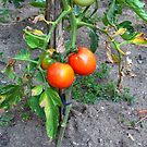 Almost Ripe Tomatoes by ivDAnu