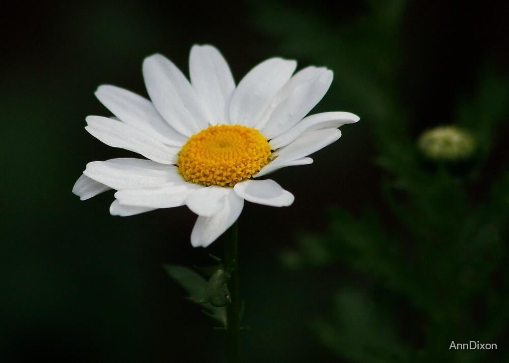 Lone Daisy  by AnnDixon