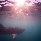 Ningaloo whale shark sunset by Stephen Colquitt