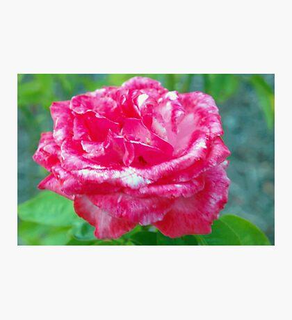 Hot pink rose Photographic Print