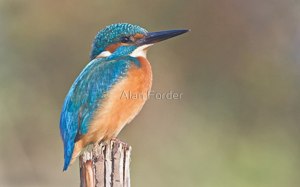 Kingfisher by Alan Forder