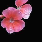 Pink on Black by Michael Taggart