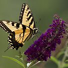 On Brian's Butterfly Bush by Douglas  Stucky