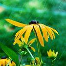 Black Eyed Susan in the Summer rain by Tori Snow