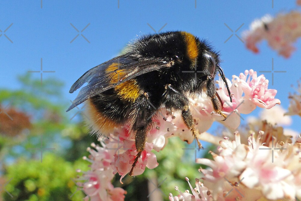 Bee - A Buzzing Thing by Barrie Woodward