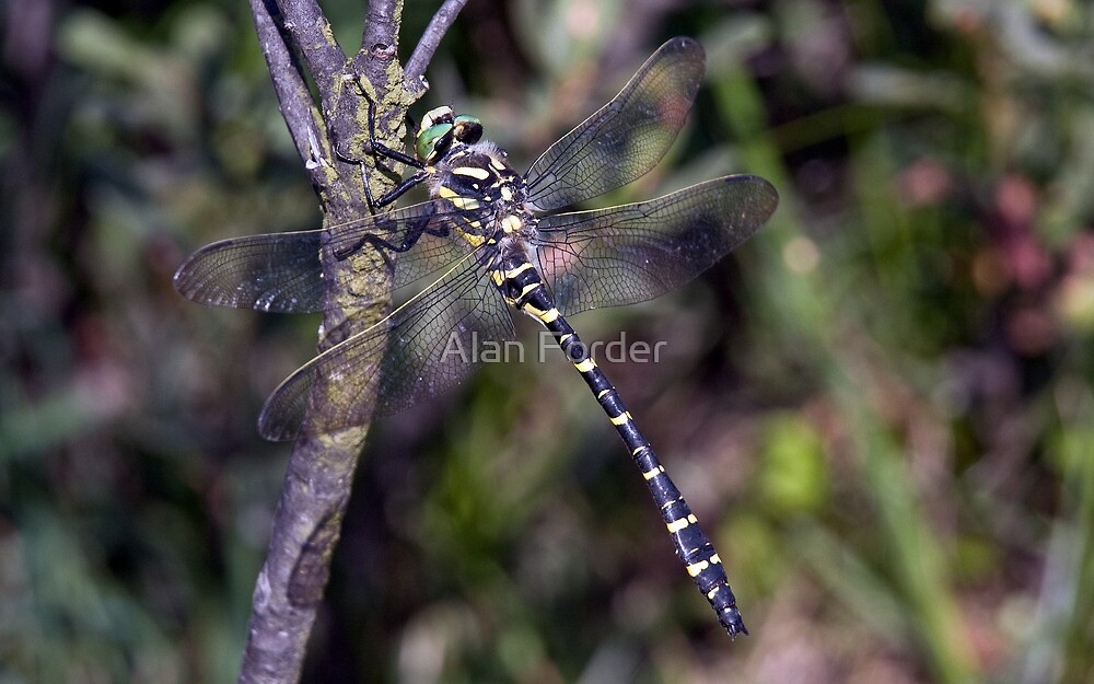 Golden ringed dragonfly by Alan Forder