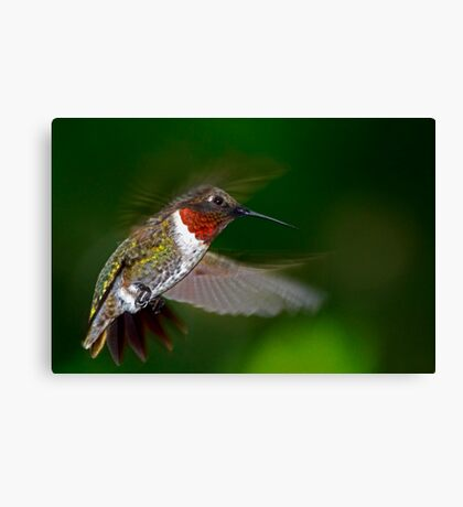 High Flight - Male Ruby-Throated Hummingbird  Canvas Print