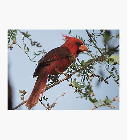 Northern Cardinal~ Male Photographic Print