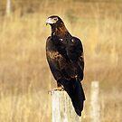 Wedge-tailed Eagle by janewiebenga