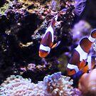 Clown Fish by Annie Underwood
