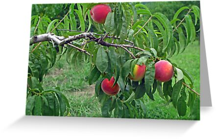 Peachy by Eileen McVey