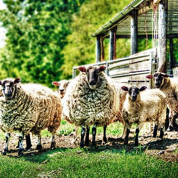 Sheep on the farm by InspiraImage