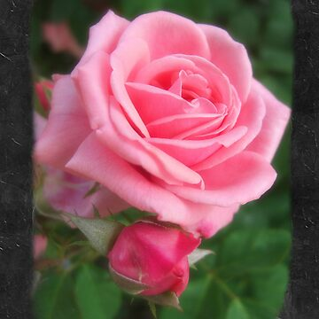 Pink Roses in Anzures 2 Blank P4F0 by TravelPhotoArt
