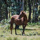 Brumby Mare by Laura Sykes