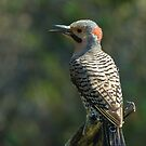 Nothern Flicker (Juvenile) by Wayne Wood