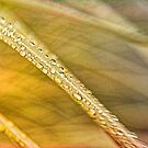 Pampas Grass and Water Droplets  by David J Baster