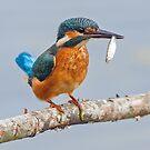 Common Kingfisher (Alcedo atthis) by Steve  Liptrot