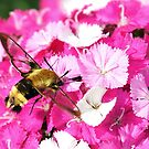 Hummingbird Clearwing by Robin Clifton