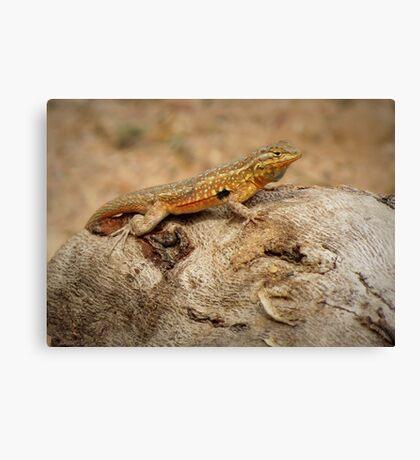 Common Side-blotched Lizard (Male) Canvas Print