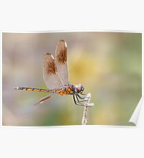 Female Four Spotted Pennant Dragonfly at Lacassine Poster