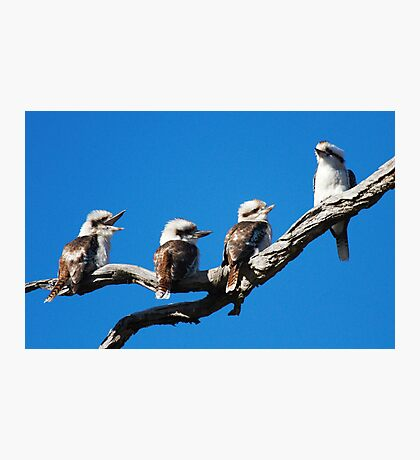 Babies Day  Out  Kookaburra's  Canberra Australia Photographic Print