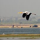 Inflight Painted stork  by magiceye
