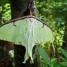 Luna Moth by Sharon Woerner