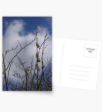 Pussy Willow against a Spring Sky Postcards