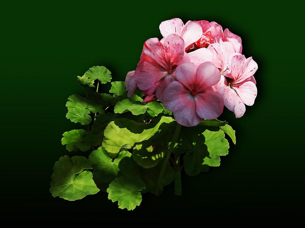 Flowers - Pale Pink Geranium by Susan Savad