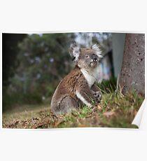 Koala in the Backyard Poster