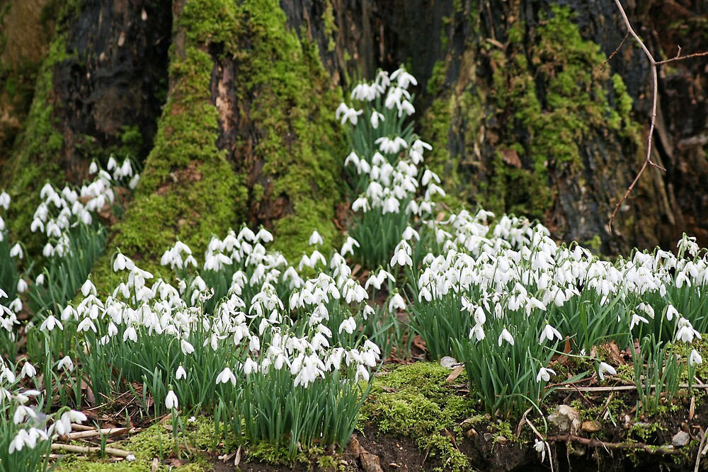 Snowdrops by DRWilliams