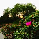 Pink Rose, Orange Sunset by jroch
