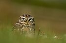 Little owl by Val Saxby