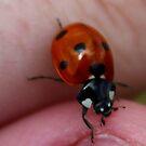 ladybug by Perggals© - Stacey Turner