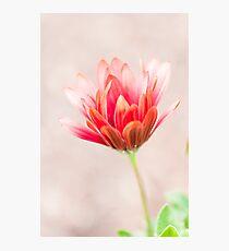 Echinacea Coneflower Photographic Print