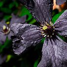 dull flower  by ConnorTaylor