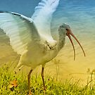 Ibis Talking by Deborah  Benoit