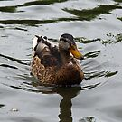 Cute lil Duck by dgscotland