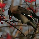 The Bohemian Waxwing  by snapdecisions