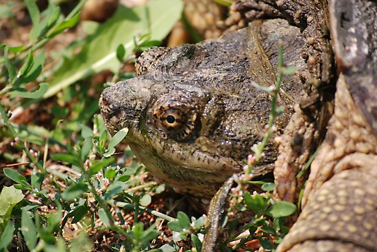 Snapping Turtle Head by Mark McReynolds