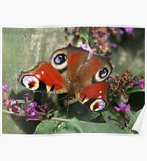 Peacock Butterfly on Budlea Poster