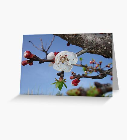 Bark, Apricot Blossom and Blue Sky Greeting Card