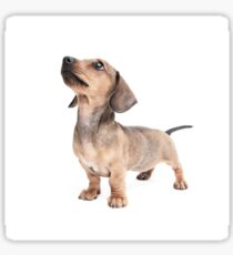 Dachshund Standing Tall Sticker