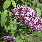 Buddleia Blossom by BlueMoonRose